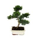 Bonsai Ilex crenata - Japanese Holly 6 years