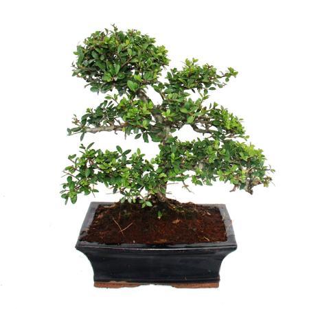 Bonsai Ilex crenata - Japanese Holly about 9 years