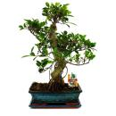 Bonsai Chinese fig tree - Ficus retusa - 12-15 years