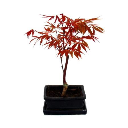 Bonsai Japanese Maple - Acer palm. atropurpureum 15cm bowl