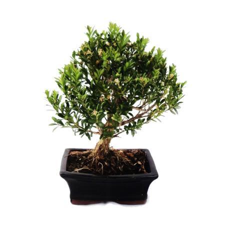 Bonsai Buchsbaum - Buxus herlandii 15cm