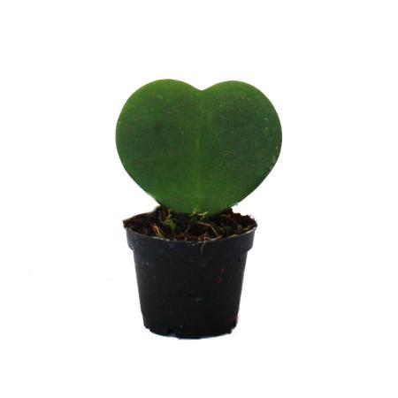 Sweetheart - heart plant in 6cm pot