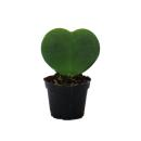 Sweetheart - heart plant in 6cm pot