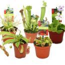 Starter Set Fleischfressende Pflanzen - 5 Pflanzen