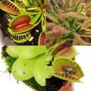 Starter Set Carnivorous Plants - 5 Plant