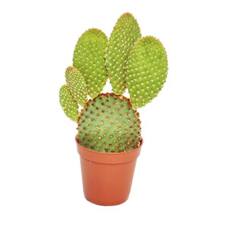 Opuntia microdasys rufida - red-brown spiny ear cactus - in a 5.5cm pot