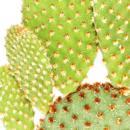 Opuntia microdasys rufida - rotbraunstachliger Ohrenkaktus - im 5,5cm Topf