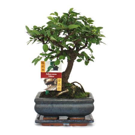 Bonsai Chinese elm - Ulmus parviflora - 6 years - spherical shape