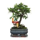 Bonsai Chinese elm - Ulmus parviflora - 6 years -...