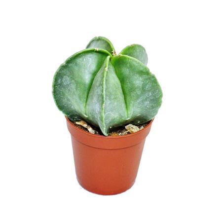 Astrophytum myriostigma - bishops hat - in a 5.5cm pot