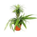 Pineapple Champaca - ornamental pineapple houseplant