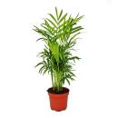 Chamaedorea Elegans - Mountain Palm - 3 Plants 12cm Pot