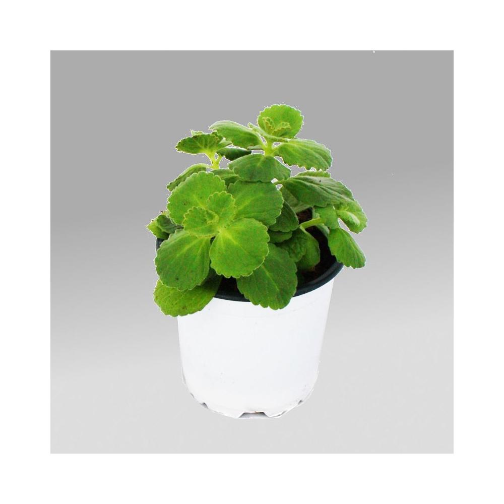 coleus canin verpiss dich pflanze 3 pflanzen. Black Bedroom Furniture Sets. Home Design Ideas