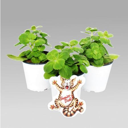 Coleus canin - Verpiss-Dich - Pflanze - 3 Pflanzen