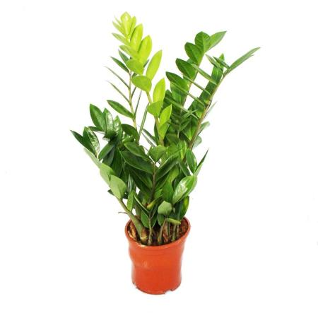 Zamioculcas Zamiifolia - Zamio Palm - Zamio Fern 14cm Pot