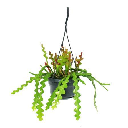 Epiphyllum Anguliger -  Sword Cactis - Crocodile Cactus - 14cm Hanging Pot