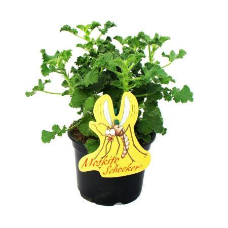Moskito-Schocker - Duftgeranie, 3 Pflanzen Pelargonium crispum - Ideal zum vertreiben von Mücken und Wespen