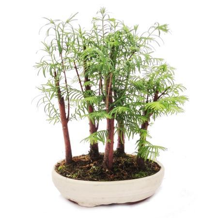 Outdoor-Bonsai Metasequoia glyptostroboides kleiner Wald mit 5 Pflanzen
