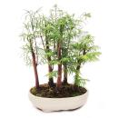 Outdoor-Bonsai Metasequoia glyptostroboides kleiner Wald...