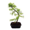 Outdoor Bonsai Pseudolarix amabilis - Gold larch or sham...
