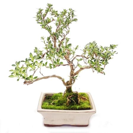 Outdoor Bonsai - Serissa foetida variegata - June snow - Tree of the 1000 stars 15cm