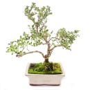 Outdoor Bonsai - Serissa foetida variegata - Junischnee -...