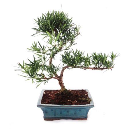 Outdoor Bonsai Podocarpus - Small-leaved stones 20cm