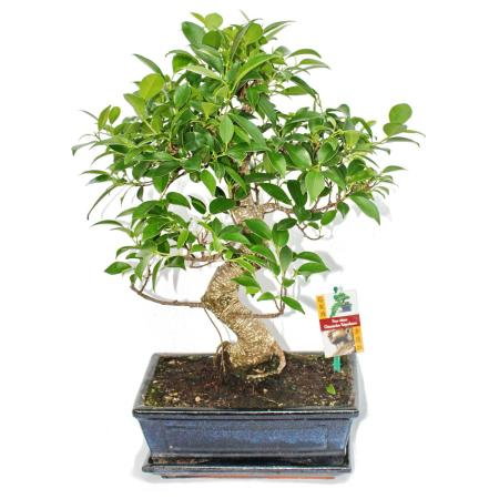 Bonsai Chinese fig tree - Ficus retusa - 10 years