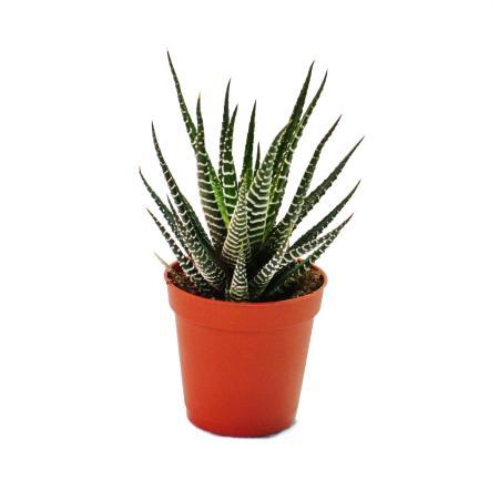 Haworthia fasciata - small plant in 5.5cm pot