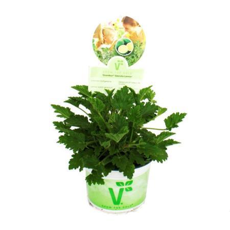 """Fragrant Geranium """"Limone"""" - Pelargonia odorata Hybr. 12cm Pot"""