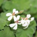 Set of 3 scented geranium - Pelargonia odorata Hybr.