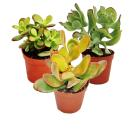 Money tree set, 3 different Crassula species in a 5.5cm pot