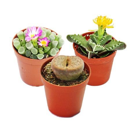 Kalahari Mix - 3 plants in a 5.5cm pot