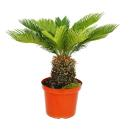 Cycas revoluta - Japanese Palm Fern - 28cm Pot