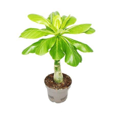 Hawaii-Palm - Brighamia insignis