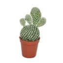 Opuntia microdasys albata - white-spined ear cactus - in...