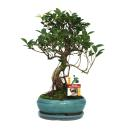 Bonsai chinese fig tree - Ficus retusa - 8 years