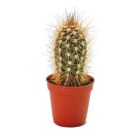 Pachycereus pringley - kleine Pflanze im 5,5cm Topf