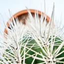 Pachycereus pringley - small plant in 5.5cm pot