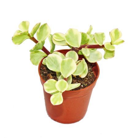 Portulacaria afra var. - Jade tree - small plant in 5.5cm pot
