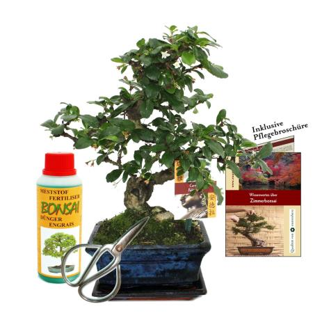 "Gift set bonsai ""Carmona"" - Fukientee - about 6 years old - beginner set"
