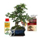 "Gift set bonsai ""Carmona"" - Fukientee - about 6..."