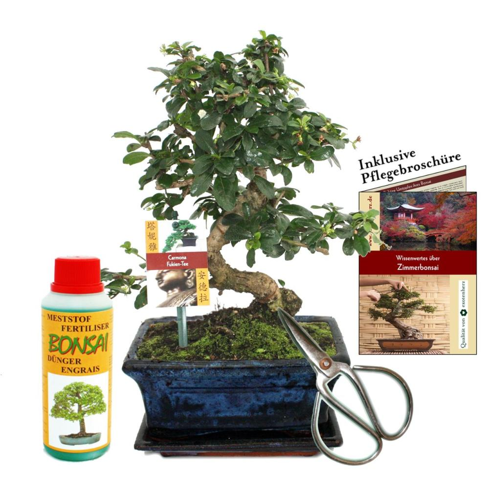 geschenkset bonsai carmona fukientee ca 8 jahre alt anf nger s. Black Bedroom Furniture Sets. Home Design Ideas