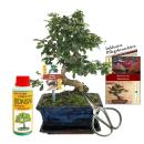"Gift set bonsai ""Carmona"" - Fukientee - approx...."