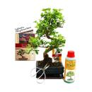 Gift Set Bonsai - Ligustrum - Chinese privet - 6 Years -...