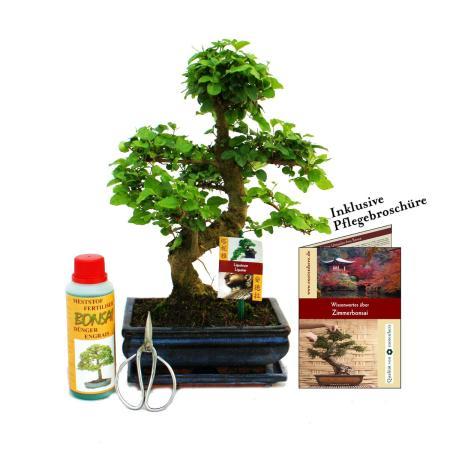 "Geschenkset Bonsai ""Ligustrum"" - Chinesischer Liguster - ca. 8 Jahre alt - Anfänger-Set"