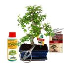 "Gift set Bonsai ""Ulmus"" - Chinese elm - approx...."