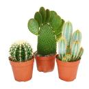 3 different larger cacti in a set, 12cm pot, approx....