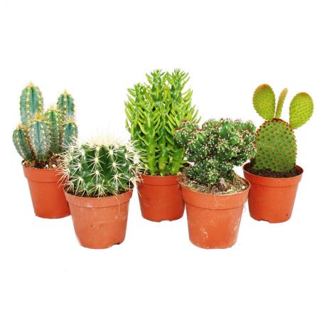 5 different medium-sized cacti in the set, 8.5 cm of pot, approx. 12-18cm high