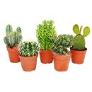 5 different medium-sized cacti in the set, 8.5 cm of pot,...